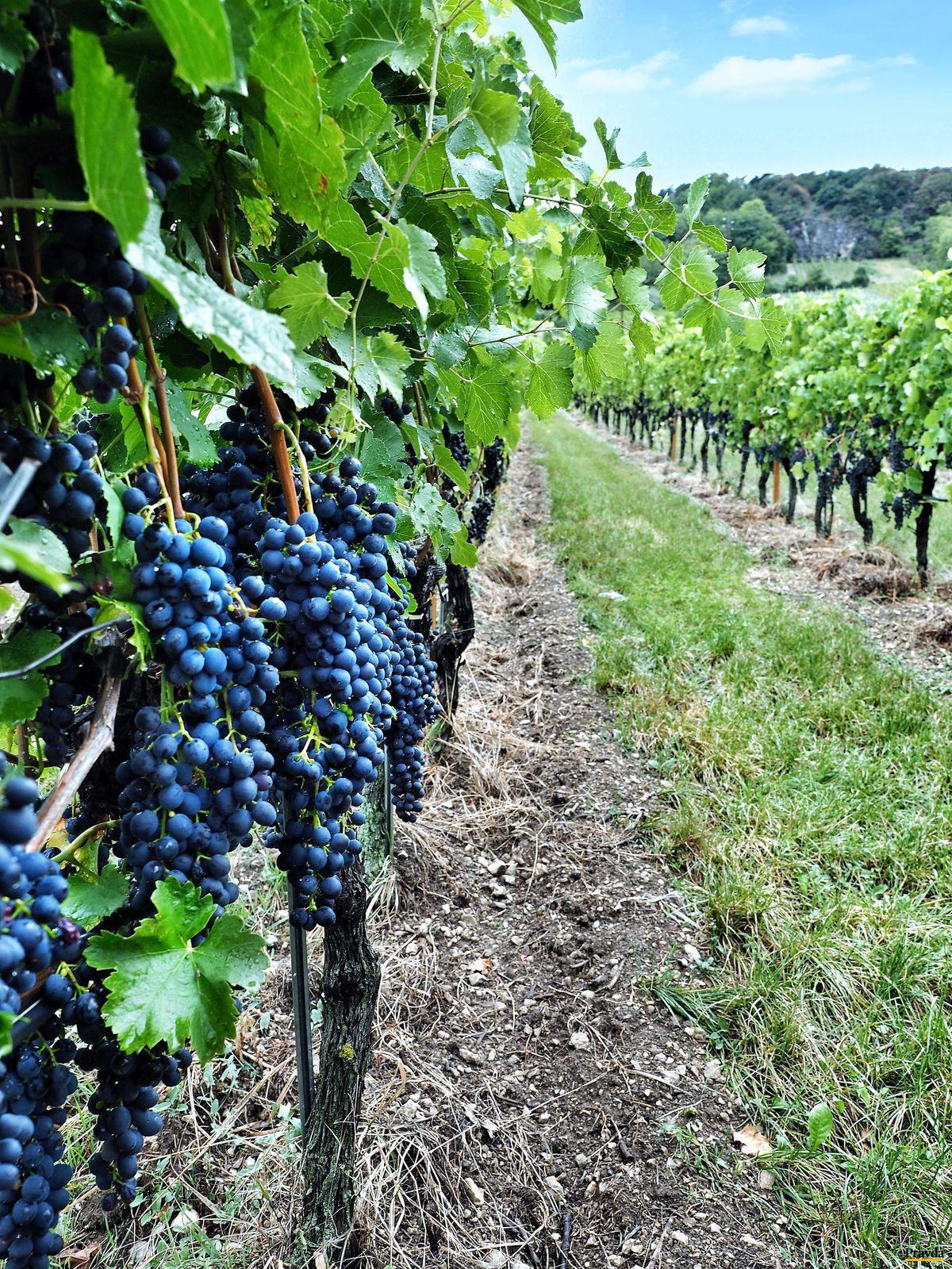 Dolné Rakúsko, vinič, hrozno, vinobranie