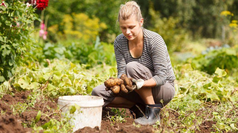 pôda, úroda, zemiaky, záhrada