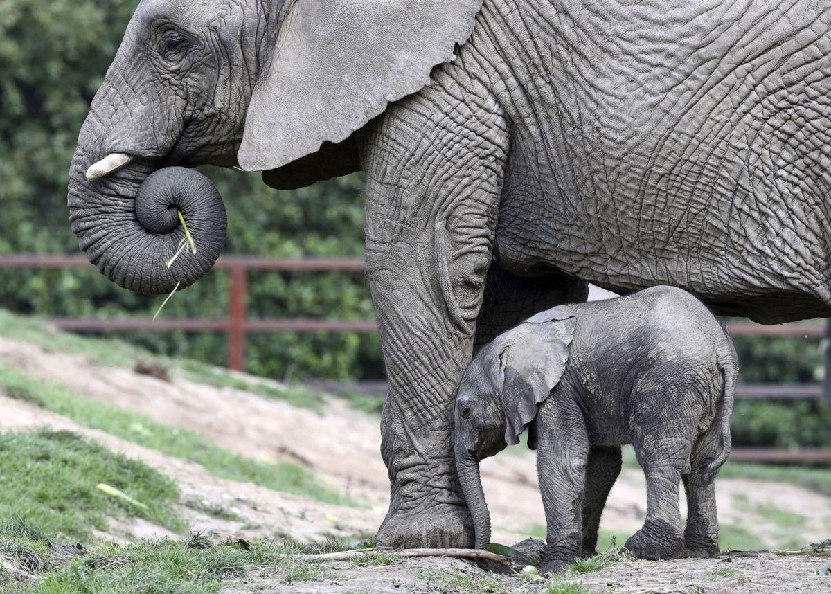slon, mláďa