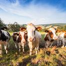 kravy, pole, dobytok