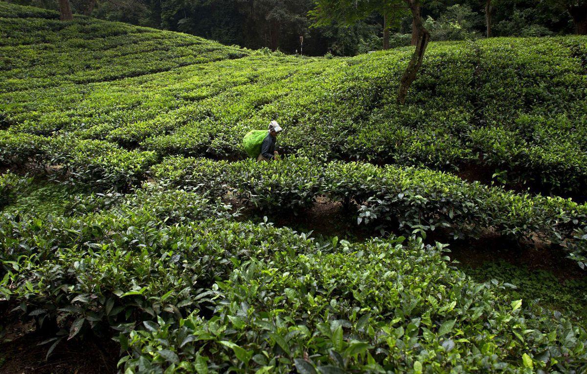 India, čaj, plantáž,