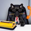 pes, kancelária, kariéra, zvieratá na pracovisku