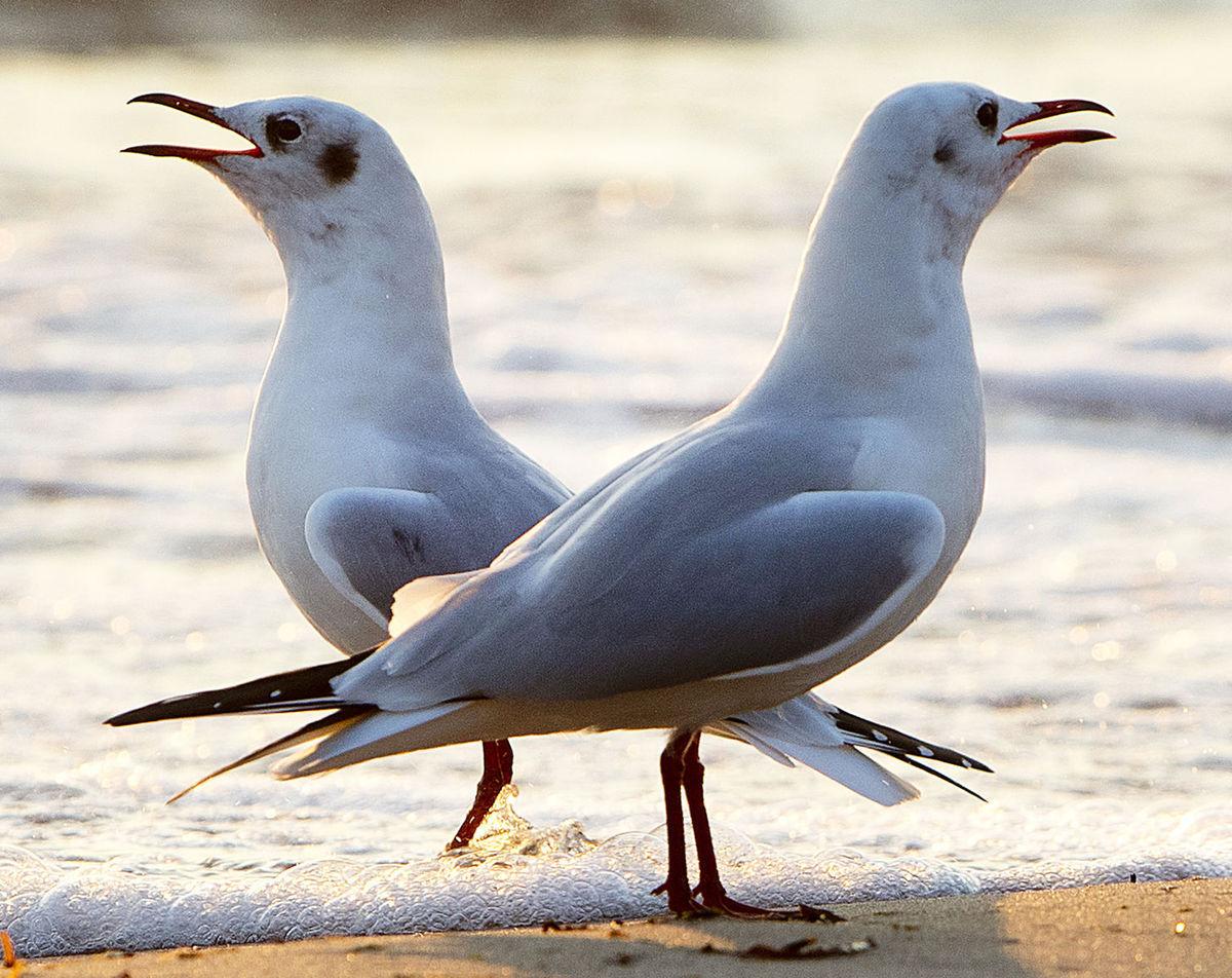 čajky, vtáky, Baltské more
