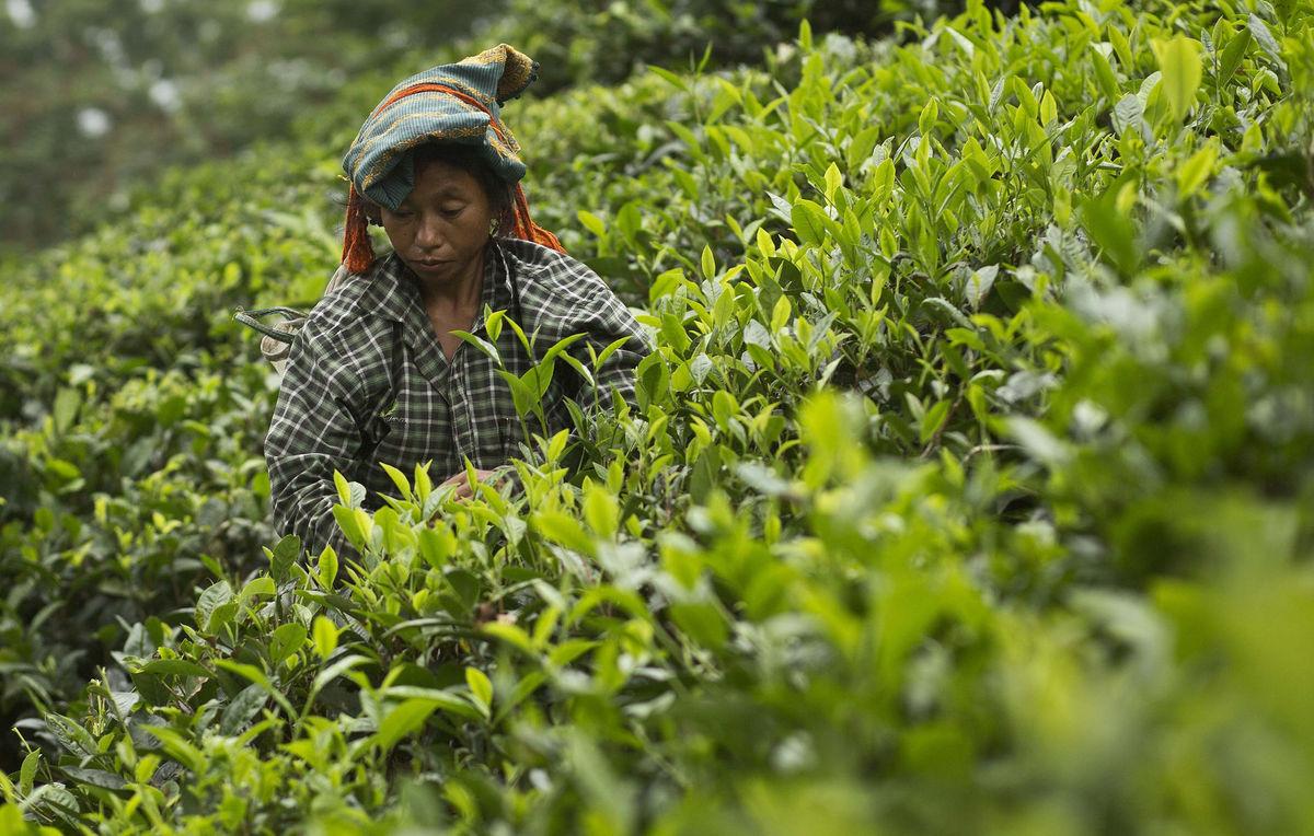 India, čaj, čojovník, plantáž