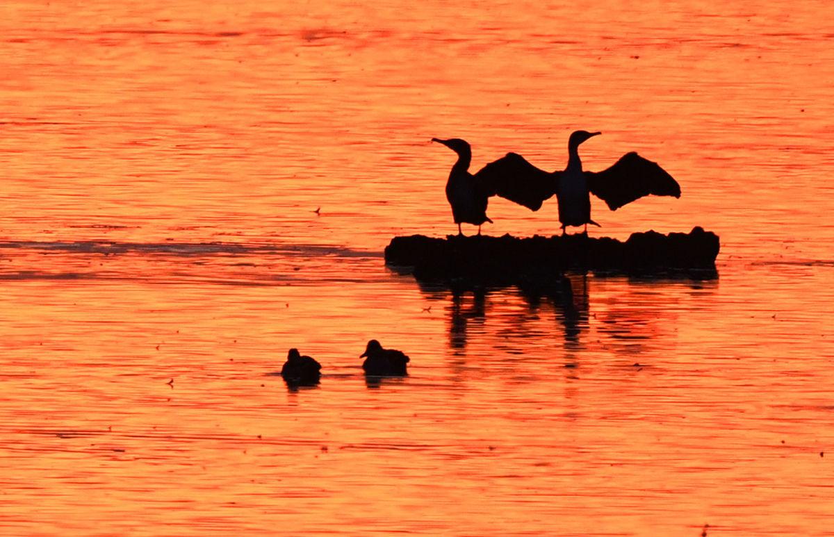 vtáky, kormorány, jazero,