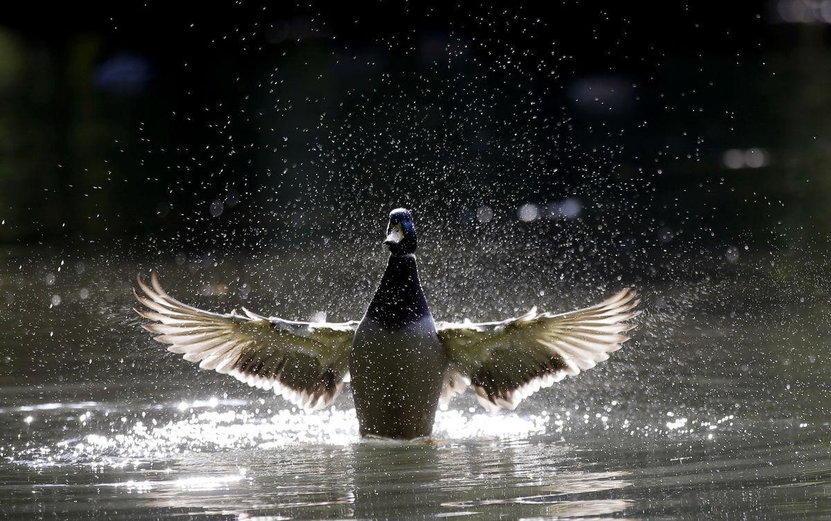 kačka, káčer, voda, vták, jazero, rybník
