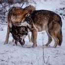 Vlci v Javorovej doline vo Vysokých Tatrách
