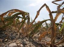 sucho, uroda kukurica, globálne oteplovanie, pole