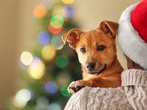 pes, vianoce, zviera
