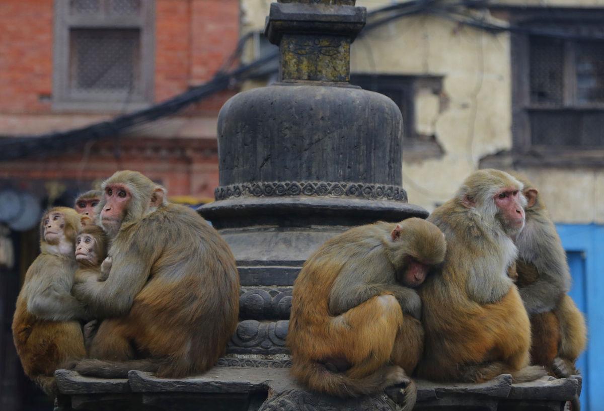 Nepál, opice, zima, Káthmandu
