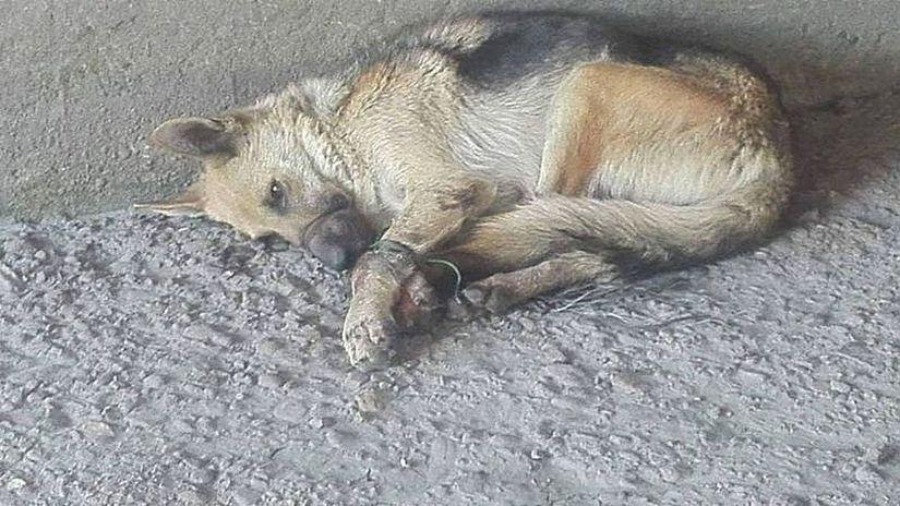 pes, nemecký ovčiak, týranie, košice