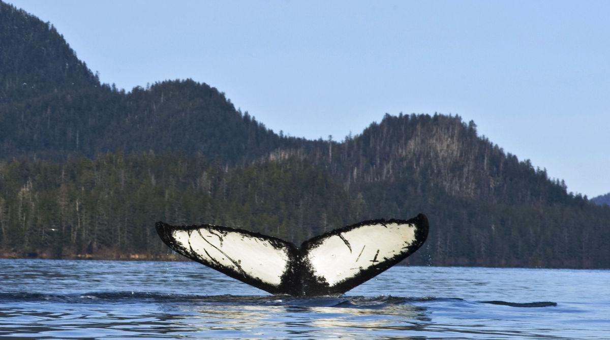veľryba, chvost, more, Aljaška
