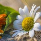 bylinka, kvetina, harmanček