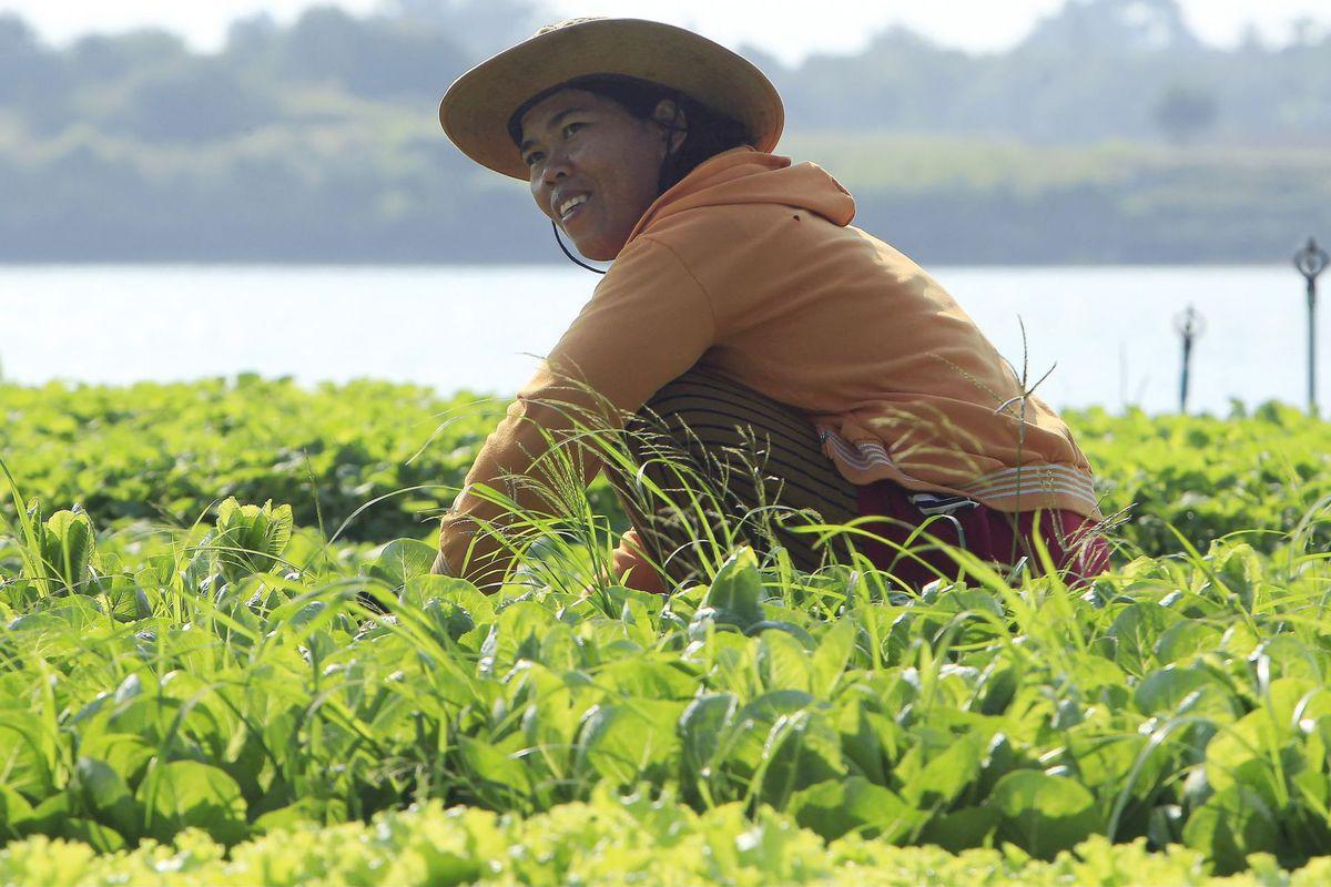 Kambodža, farmár, šalát, pestovanie, Mekong