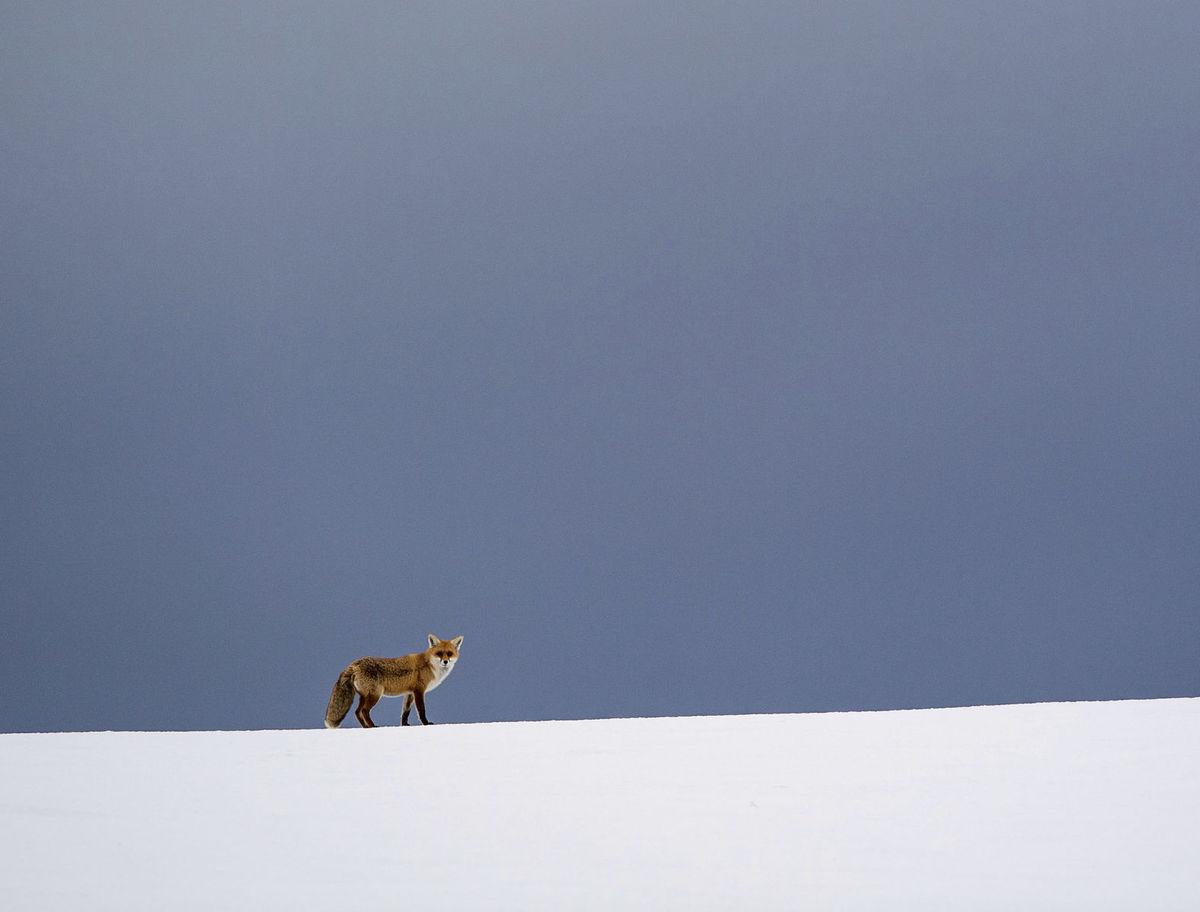 líška, zima, sneh, zviera