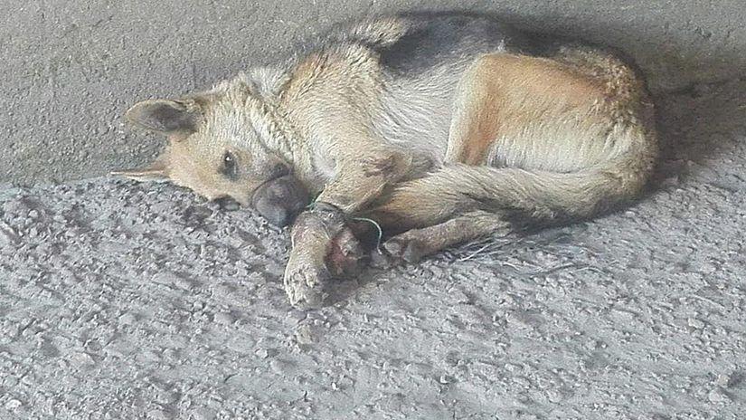 tpes, týraný pes