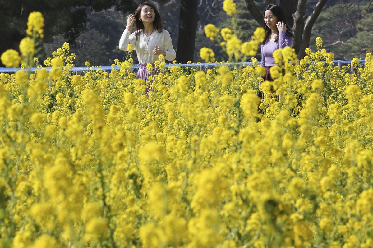 Japonsko, kvety, záhrada, jar, kvitnutie