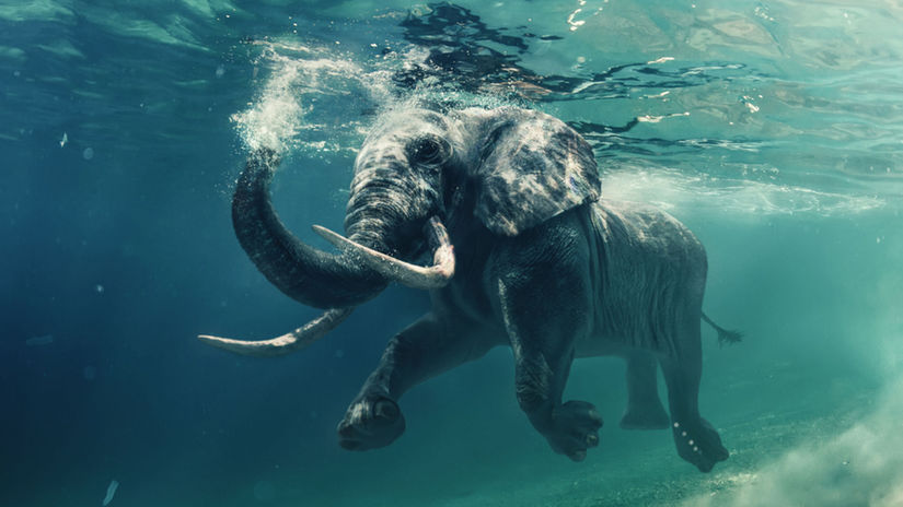 slon, plávanie, voda,