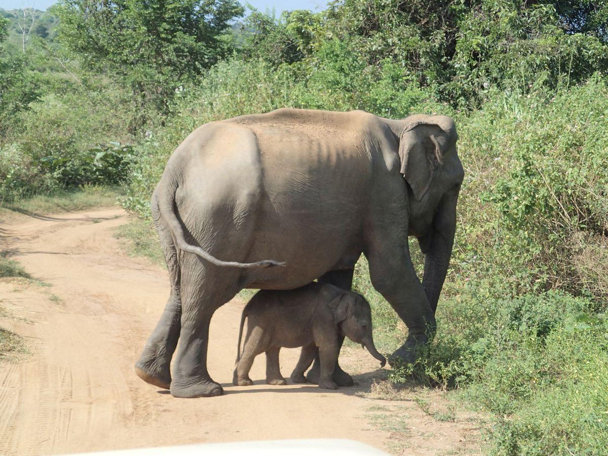 slony, sloníča, mláďa