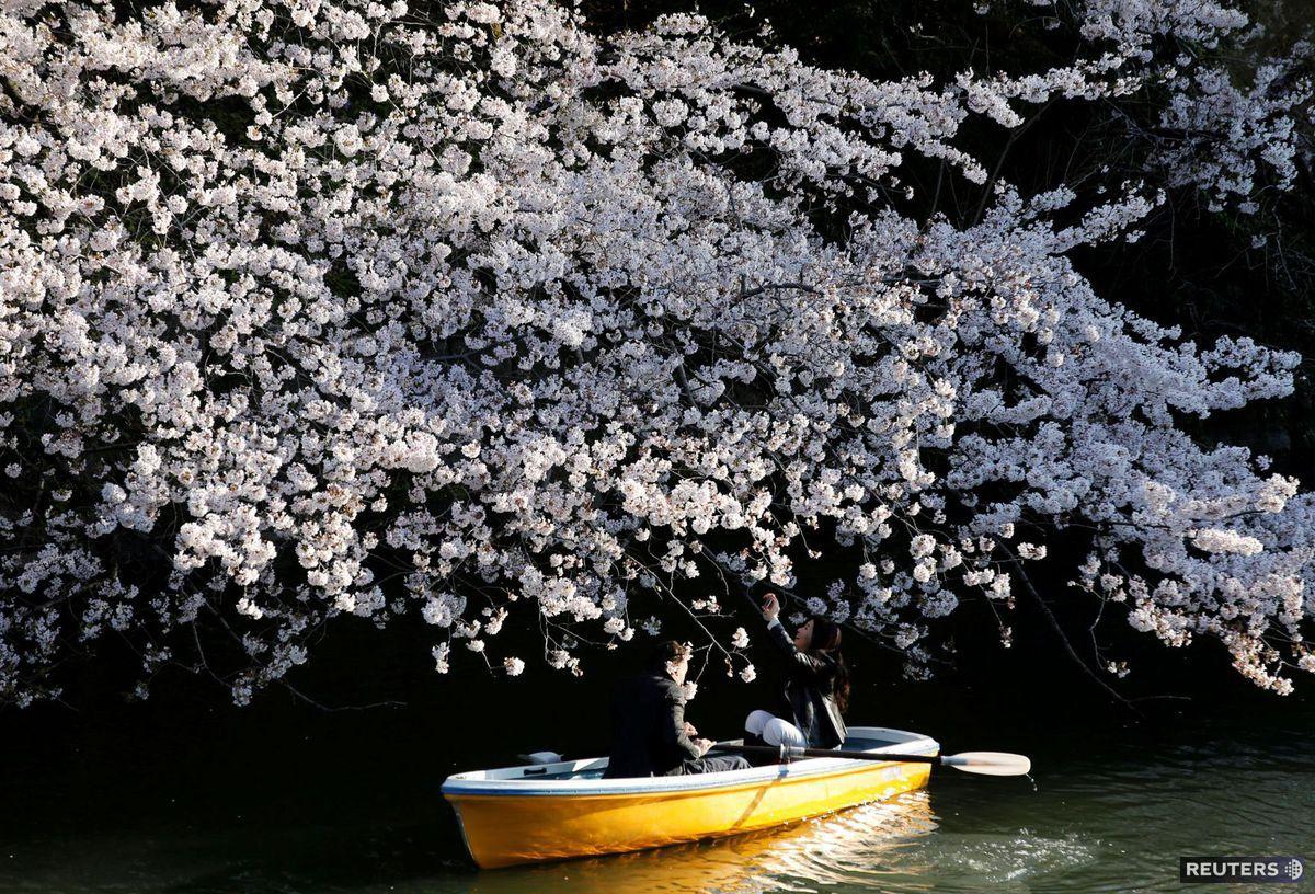 Japonsko, kvety, čerešne, kvitnutie, loď, čln, romantika