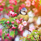vták, čerešňa, máj, strom, kvet