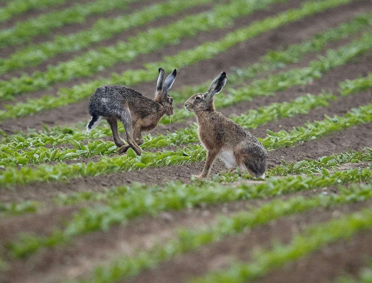 zajace, pole, príroda, zvieratá