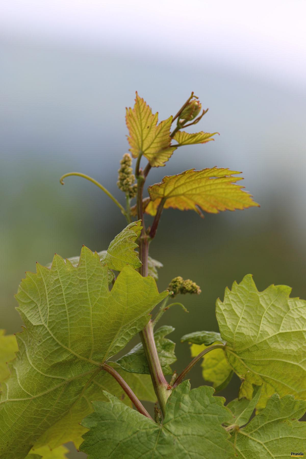 Vinohradníkova nádej.