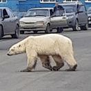 Rusko Sibír Polárny Medveď