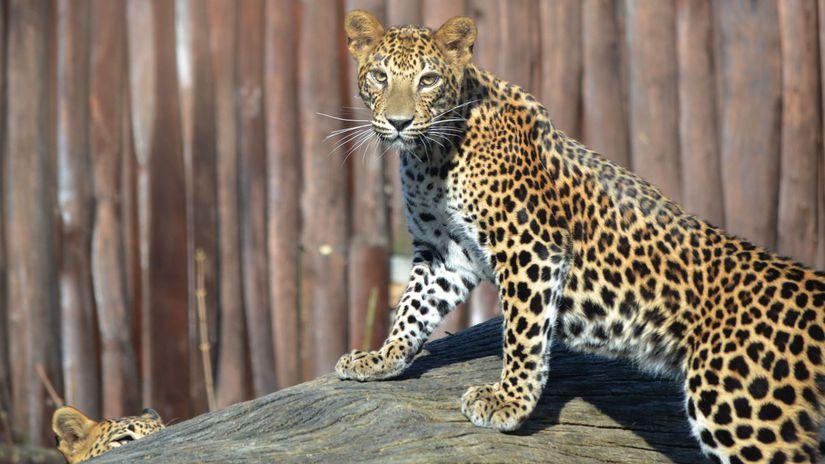 leopard, Eliya, zoo, bratislava