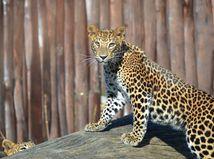 Záhorie straší medveď, Bratislavu leopard
