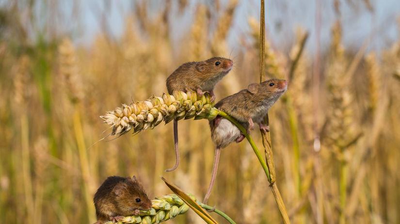 Myš obilie