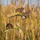 Kalamita s myšami na poliach je najväčšia za posledných 17 rokov