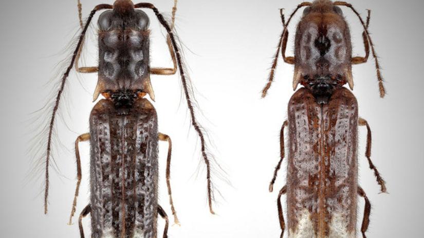 csm Sinopyrophorus schimmeli 38a6fe4fa3
