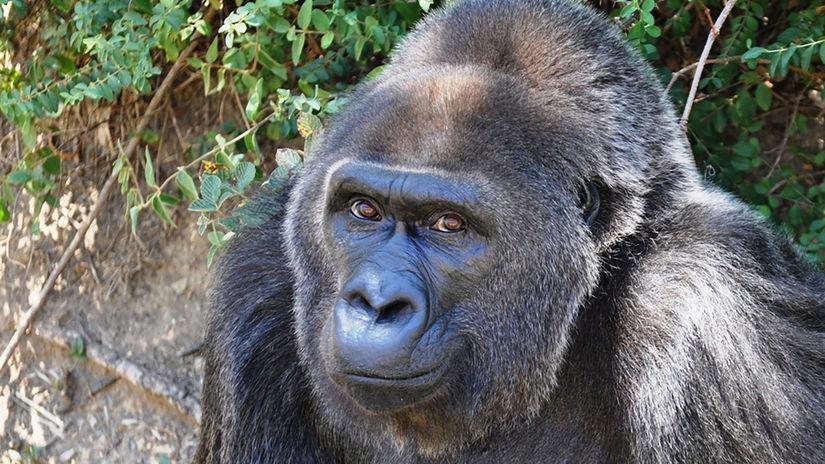 gorila, trudy