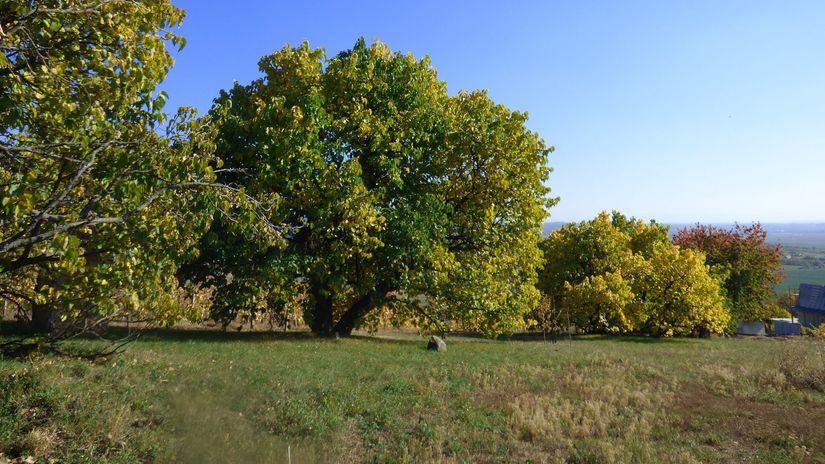 moruše, pokanec, stromy,