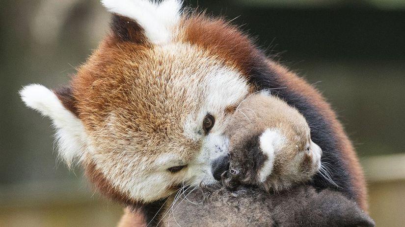 Panda červená / zoo /