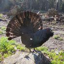 hlucháň, vták