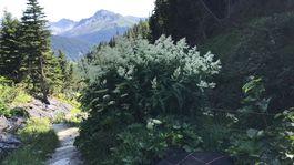 Švajčiarsko, Alpy, botanická záhrada, kvet