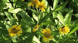 Švajčiarsko, botanická záhrada, Alpy, žltý kvet
