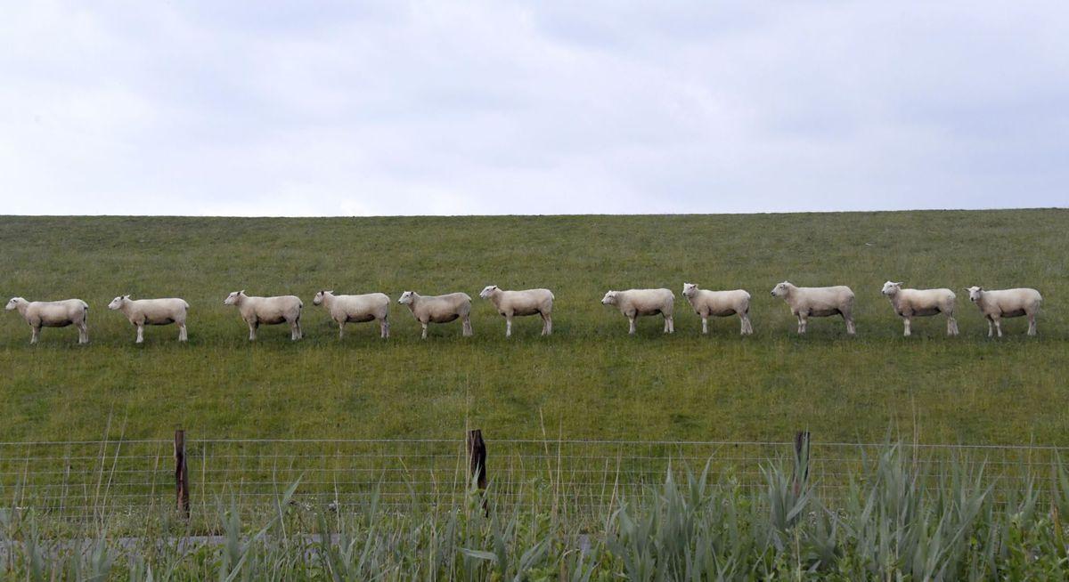 ovce, poľnohospodárstvo, pastvina, farma