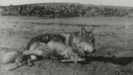 3 vlk LOBO ernest thomson seton