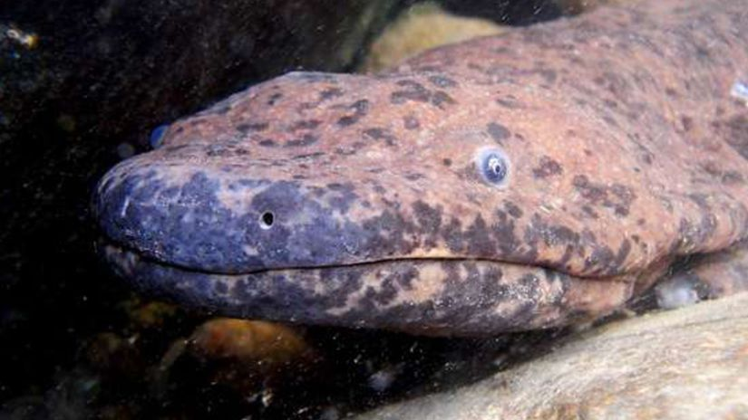 Chinese giant salamander website