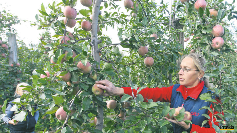 žena, jablká, oberanie