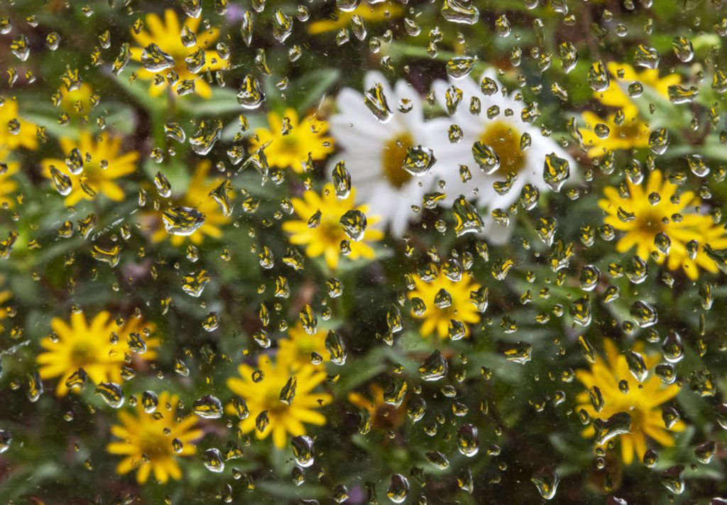 kvety, kvapky, dážď, prší, počasie
