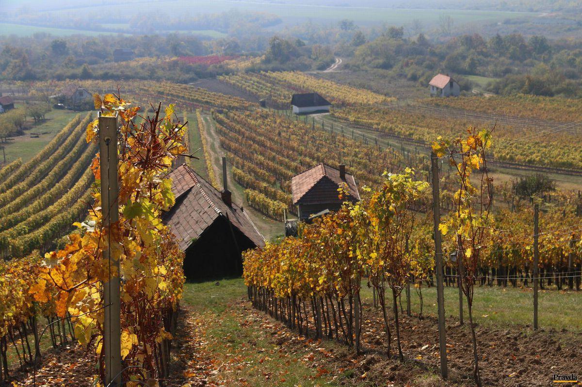 Slnkom prežiarená jesenná vinica Nichtovcov.