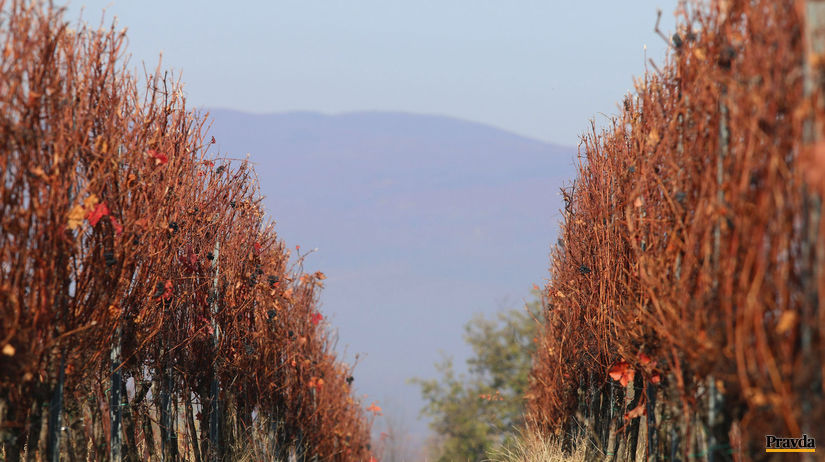Vinohrady, vinice