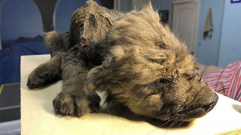 18000-year-old-puppy-permafrost-could-be-oldest...