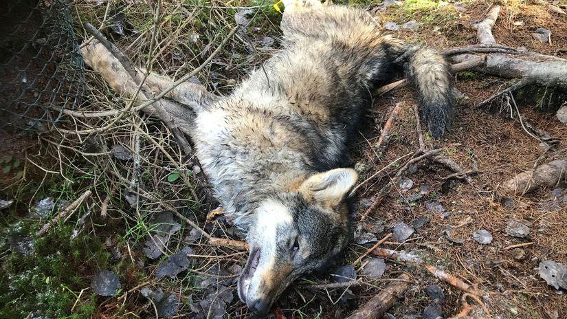 vlk TANAP lov poľovníctvo