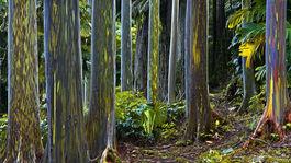 Rainbow eucalyptus Maui 9569-80