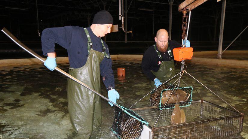 rybári, Island